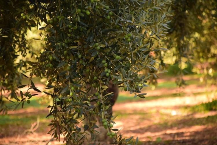 zeytin- ağacı